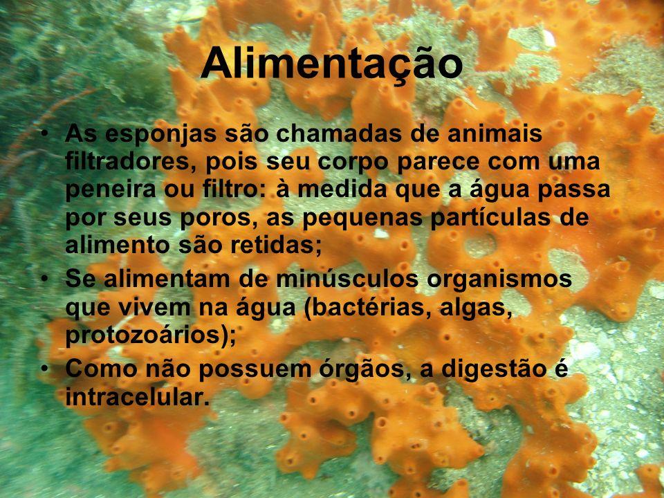 Alimentação As esponjas são chamadas de animais filtradores, pois seu corpo parece com uma peneira ou filtro: à medida que a água passa por seus poros