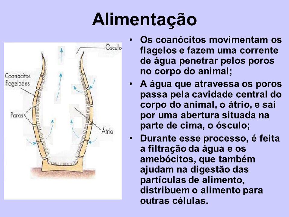 Alimentação Os coanócitos movimentam os flagelos e fazem uma corrente de água penetrar pelos poros no corpo do animal; A água que atravessa os poros p