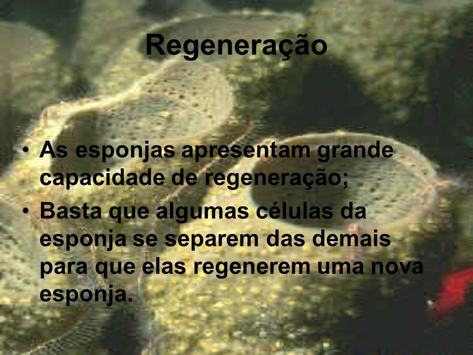 Regeneração As esponjas apresentam grande capacidade de regeneração; Basta que algumas células da esponja se separem das demais para que elas regenere