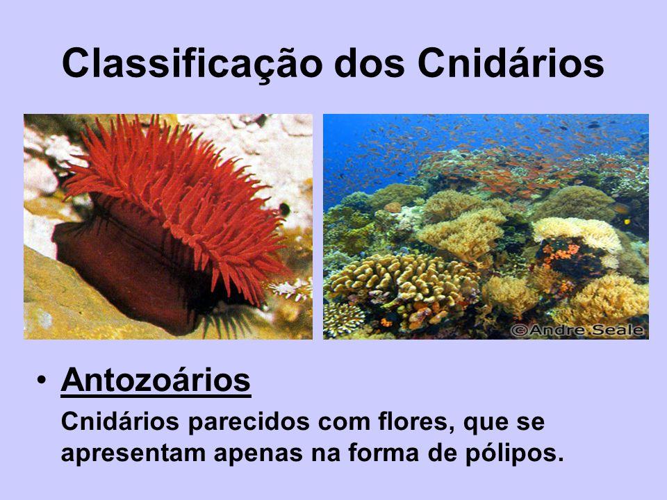 Classificação dos Cnidários Antozoários Cnidários parecidos com flores, que se apresentam apenas na forma de pólipos.