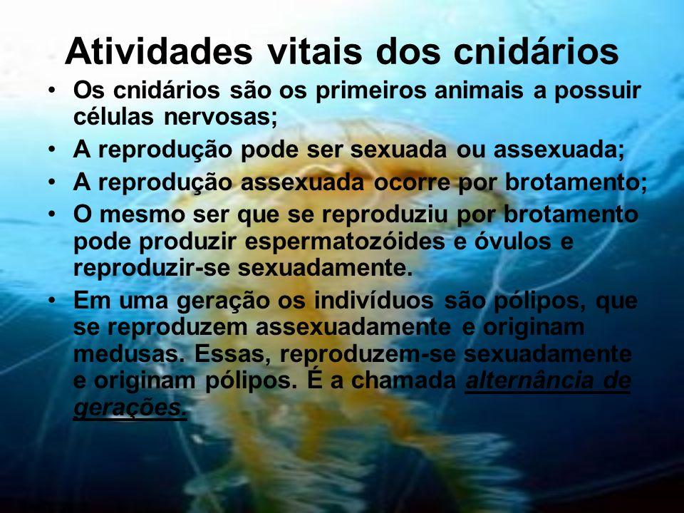 Atividades vitais dos cnidários Os cnidários são os primeiros animais a possuir células nervosas; A reprodução pode ser sexuada ou assexuada; A reprod