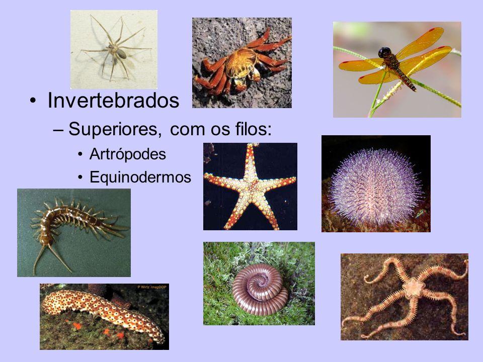 Invertebrados –Superiores, com os filos: Artrópodes Equinodermos