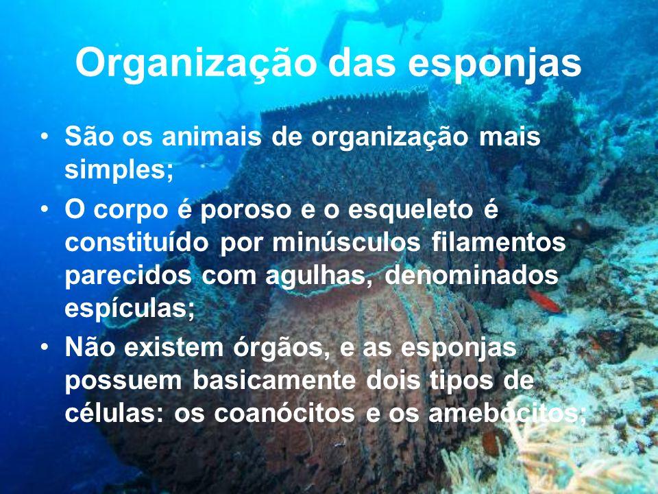Organização das esponjas São os animais de organização mais simples; O corpo é poroso e o esqueleto é constituído por minúsculos filamentos parecidos