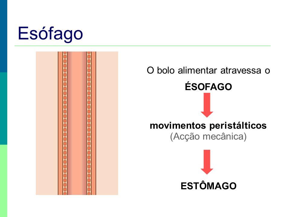 Esófago O bolo alimentar atravessa o ÉSOFAGO movimentos peristálticos (Acção mecânica) ESTÔMAGO