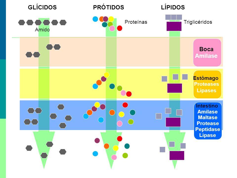 GLÍCIDOSPRÓTIDOSLÍPIDOS Boca Amilase Estômago Proteases Lipases Intestino Amilase Maltase Protease Peptidase Lipase Amido ProteínasTriglicéridos