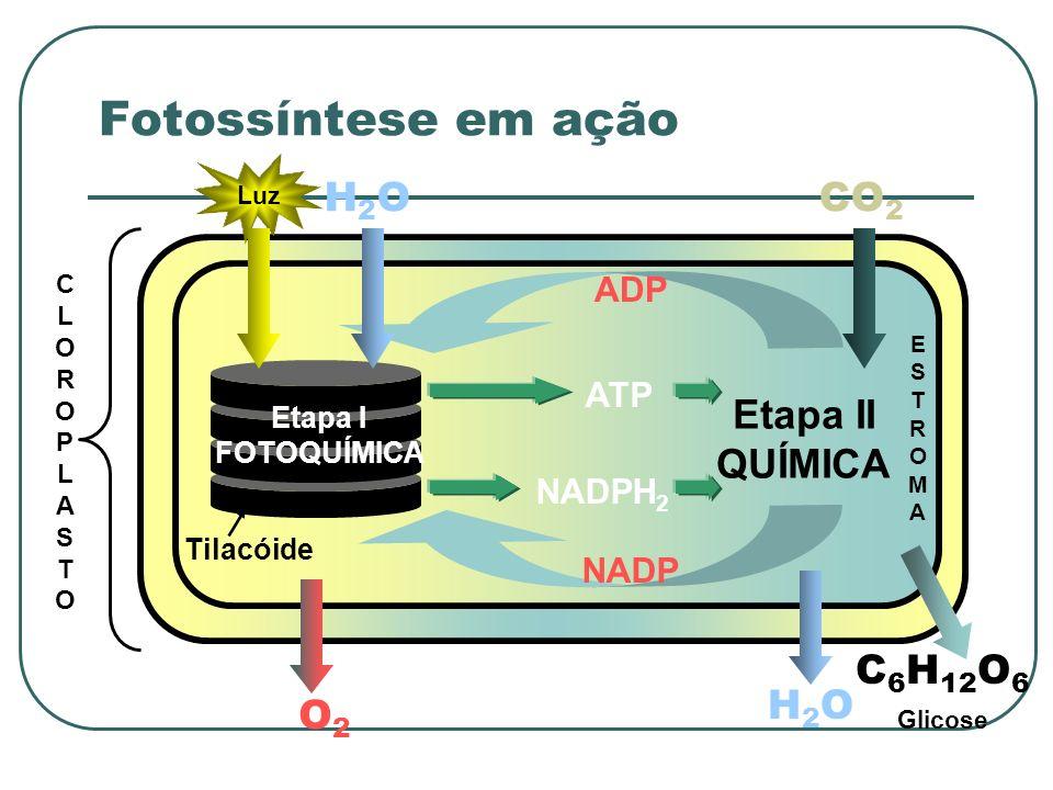 CLOROPLASTOCLOROPLASTO Tilacóide Etapa II QUÍMICA Etapa I FOTOQUÍMICA Luz H2OH2O CO 2 ADP NADP H2OH2O C 6 H 12 O 6 ATP NADPH 2 O2O2 ESTROMAESTROMA Glicose Fotossíntese em ação