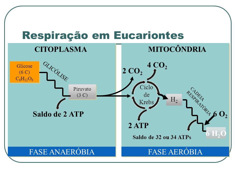 MITOCÔNDRIACITOPLASMA Glicose (6 C) C 6 H 12 O 6 Glicose (6 C) C 6 H 12 O 6 2 CO 2 Ciclo de Krebs 4 CO 2 2 ATP H2H2 FASE ANAERÓBIAFASE AERÓBIA 6 H 2 O CADEIA RESPIRATÓRIA Saldo de 32 ou 34 ATPs 6 O 2 Piruvato (3 C) GLICÓLISE Saldo de 2 ATP Respiração em Eucariontes