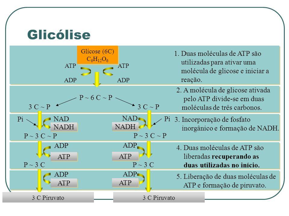 P ~ 6 C ~ P 3 C Piruvato Glicose (6C) C 6 H 12 O 6 ADP ATP ADP ATP 1.