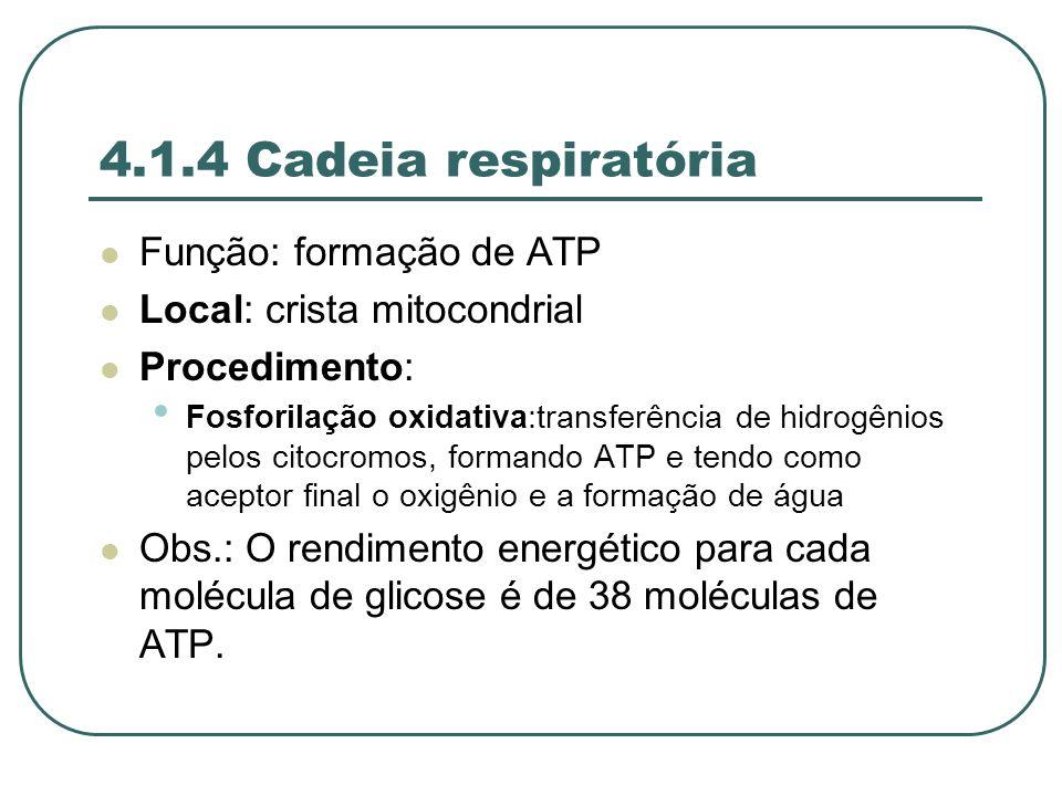 4.1.4 Cadeia respiratória Função: formação de ATP Local: crista mitocondrial Procedimento: Fosforilação oxidativa:transferência de hidrogênios pelos citocromos, formando ATP e tendo como aceptor final o oxigênio e a formação de água Obs.: O rendimento energético para cada molécula de glicose é de 38 moléculas de ATP.