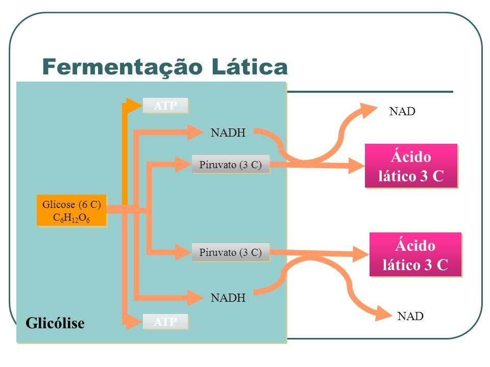 Glicólise Glicose (6 C) C 6 H 12 O 6 ATP Piruvato (3 C) NADH Ácido lático 3 C NAD Ácido lático 3 C NAD Fermentação Lática