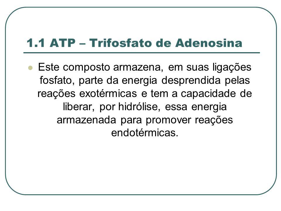 1.1 ATP – Trifosfato de Adenosina Este composto armazena, em suas ligações fosfato, parte da energia desprendida pelas reações exotérmicas e tem a capacidade de liberar, por hidrólise, essa energia armazenada para promover reações endotérmicas.