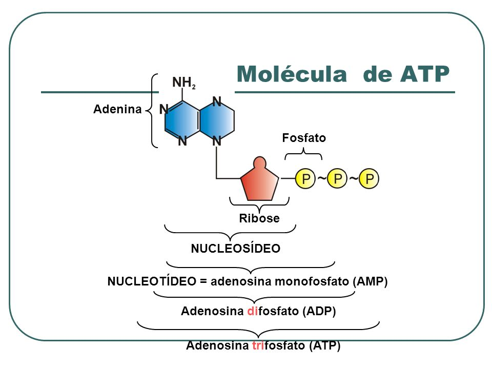 NUCLEOSÍDEO NUCLEOTÍDEO = adenosina monofosfato (AMP)Adenosina difosfato (ADP) Adenosina trifosfato (ATP) Adenina Fosfato Ribose Molécula de ATP