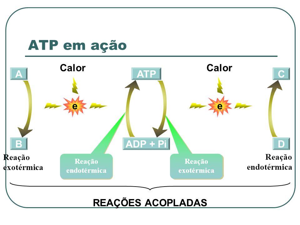 A B ADP + Pi ATP Reação endotérmica Reação exotérmica C D e Calor e REAÇÕES ACOPLADAS Reação exotérmica Reação endotérmica ATP em ação