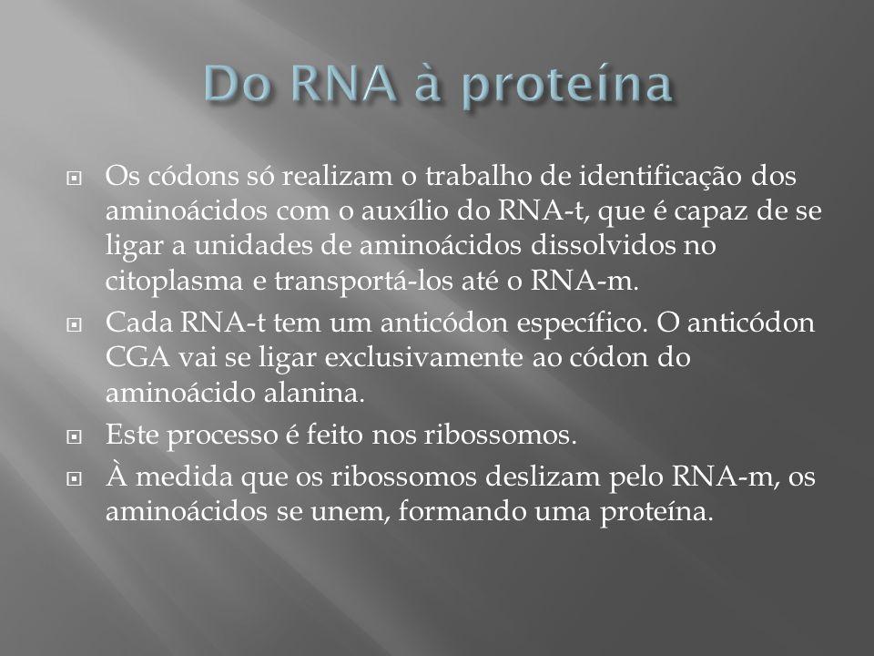 Os códons só realizam o trabalho de identificação dos aminoácidos com o auxílio do RNA-t, que é capaz de se ligar a unidades de aminoácidos dissolvido