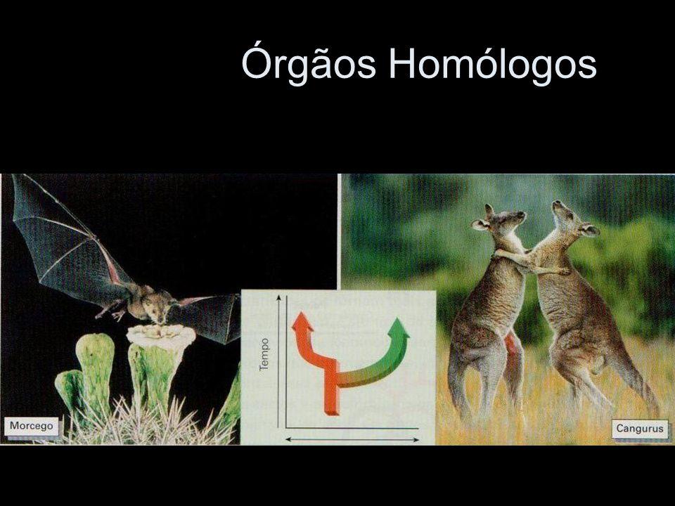 Surgem por divergência evolutiva.