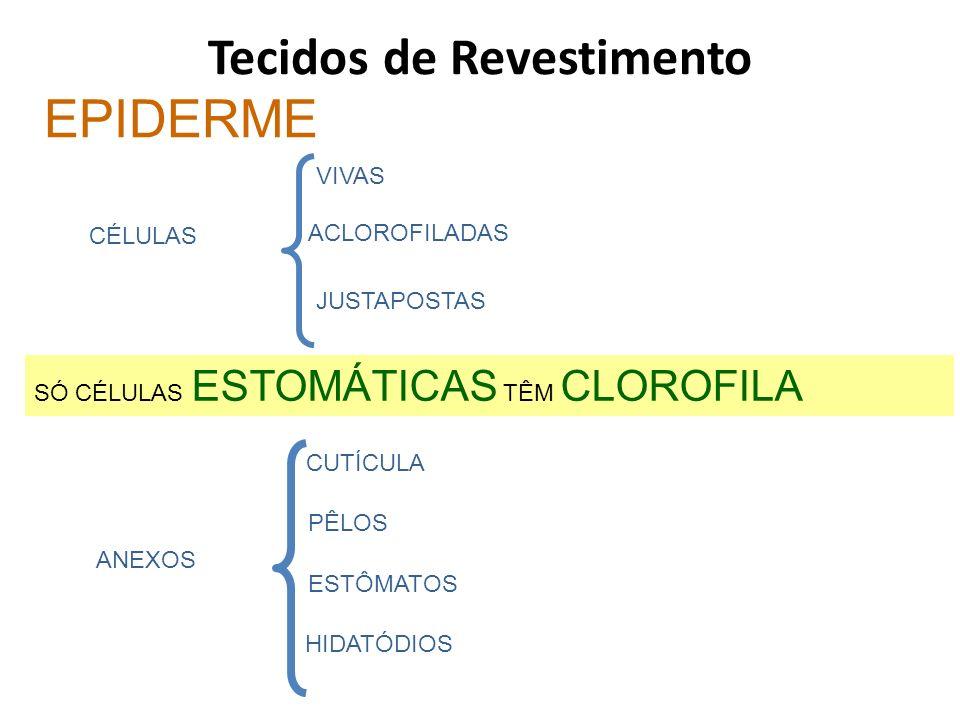 Tecidos de Revestimento EPIDERME CÉLULAS ACLOROFILADAS JUSTAPOSTAS VIVAS SÓ CÉLULAS ESTOMÁTICAS TÊM CLOROFILA ANEXOS CUTÍCULA PÊLOS ESTÔMATOS HIDATÓDI