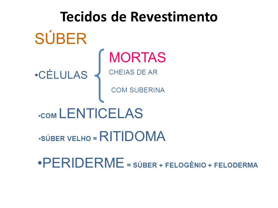 SÚBER CÉLULAS MORTAS CHEIAS DE AR COM SUBERINA COM LENTICELAS SÚBER VELHO = RITIDOMA PERIDERME = SÚBER + FELOGÊNIO + FELODERMA Tecidos de Revestimento