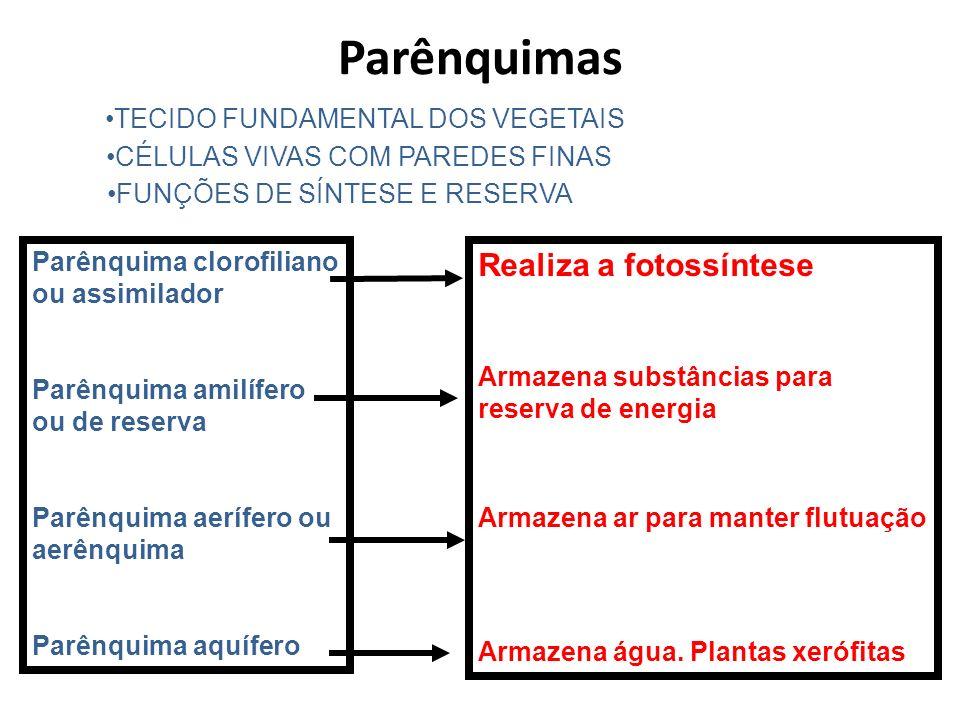 FUNÇÕES DE SÍNTESE E RESERVA TECIDO FUNDAMENTAL DOS VEGETAIS CÉLULAS VIVAS COM PAREDES FINAS Parênquimas Parênquima clorofiliano ou assimilador Parênq