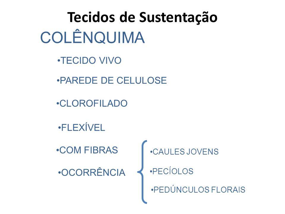 COLÊNQUIMA TECIDO VIVO PAREDE DE CELULOSE CLOROFILADO FLEXÍVEL COM FIBRAS CAULES JOVENS OCORRÊNCIA PECÍOLOS PEDÚNCULOS FLORAIS Tecidos de Sustentação