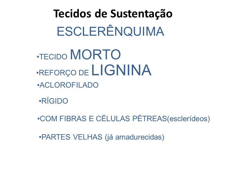 ESCLERÊNQUIMA TECIDO MORTO REFORÇO DE LIGNINA ACLOROFILADO RÍGIDO COM FIBRAS E CÉLULAS PÉTREAS(esclerídeos) PARTES VELHAS (já amadurecidas) Tecidos de