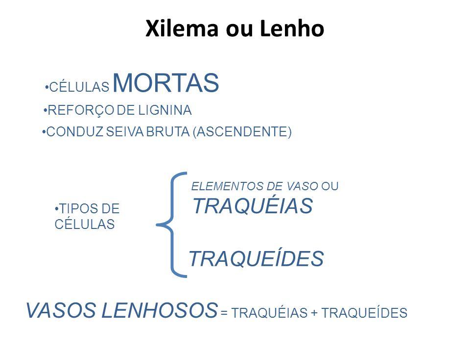 CÉLULAS MORTAS CONDUZ SEIVA BRUTA (ASCENDENTE) TIPOS DE CÉLULAS TRAQUEÍDES ELEMENTOS DE VASO OU TRAQUÉIAS VASOS LENHOSOS = TRAQUÉIAS + TRAQUEÍDES REFO