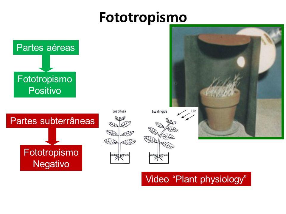 Fototropismo Partes aéreas Fototropismo Positivo Partes subterrâneas Fototropismo Negativo Video Plant physiology