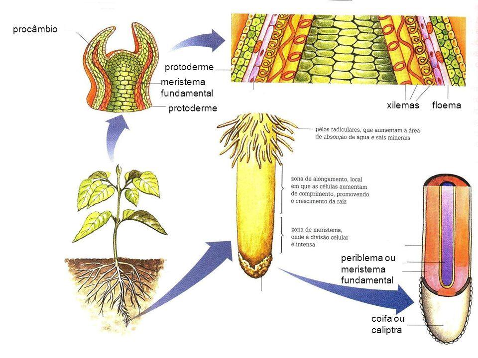 floemaxilemas procâmbio meristema fundamental protoderme coifa ou caliptra periblema ou meristema fundamental protoderme