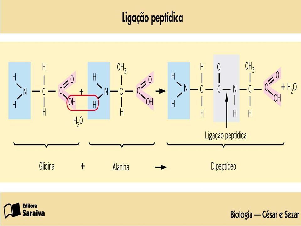 A simples seqüência de aminoácidos e seu número forma a Estrutura Primária da proteína.