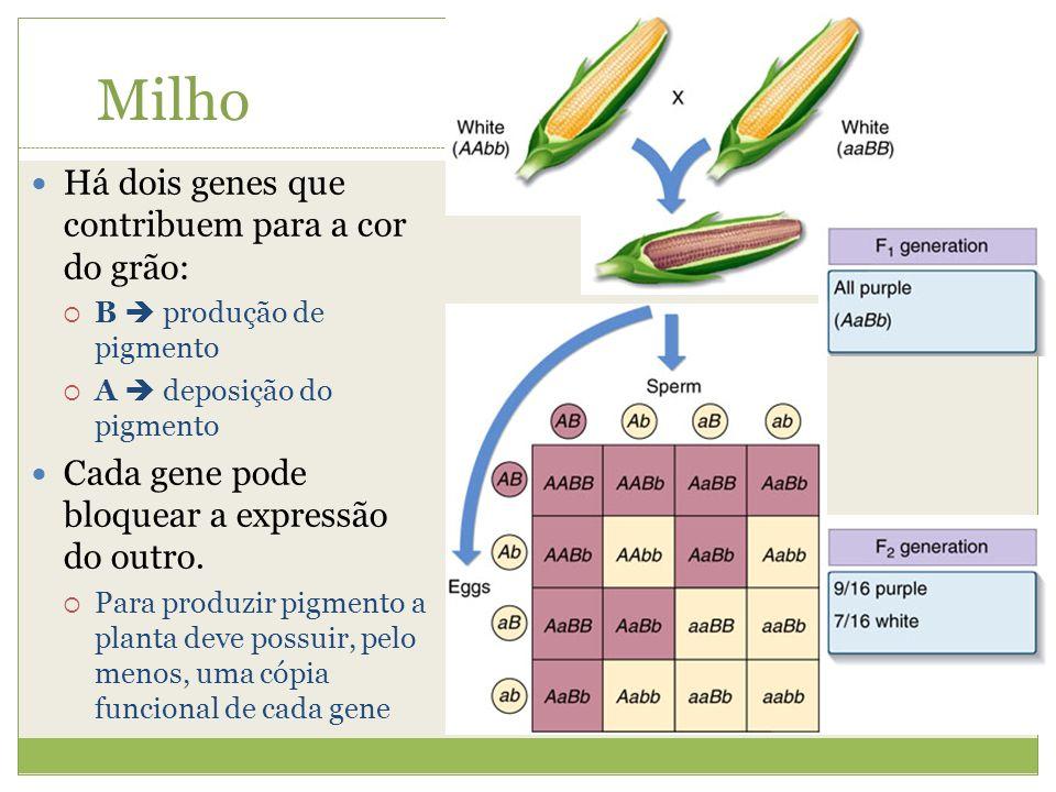Há dois genes que contribuem para a cor do grão: B produção de pigmento A deposição do pigmento Cada gene pode bloquear a expressão do outro. Para pro