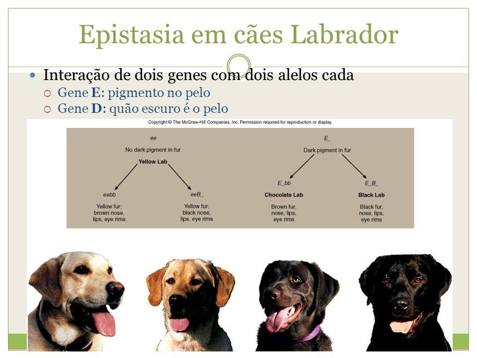 Epistasia em cães Labrador Interação de dois genes com dois alelos cada Gene E: pigmento no pelo Gene D: quão escuro é o pelo