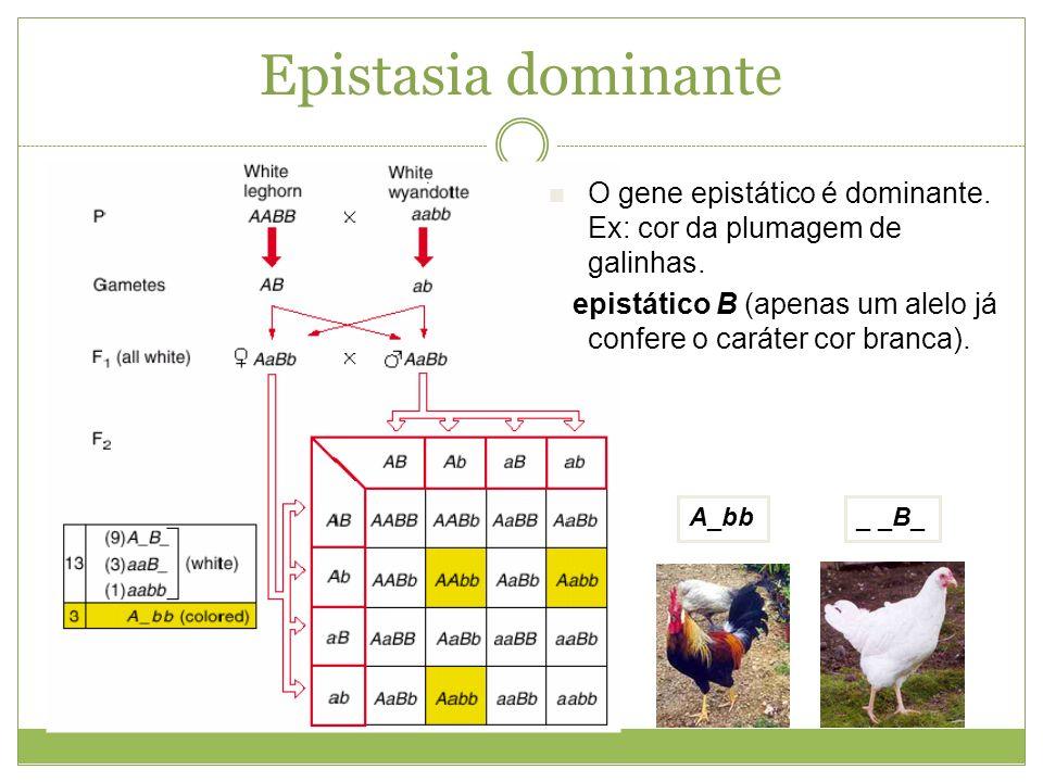 Epistasia dominante _ _B_ A_bb O gene epistático é dominante. Ex: cor da plumagem de galinhas. epistático B (apenas um alelo já confere o caráter cor