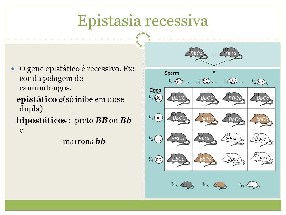 Epistasia recessiva O gene epistático é recessivo. Ex: cor da pelagem de camundongos. epistático c(só inibe em dose dupla) hipostáticos : preto BB ou