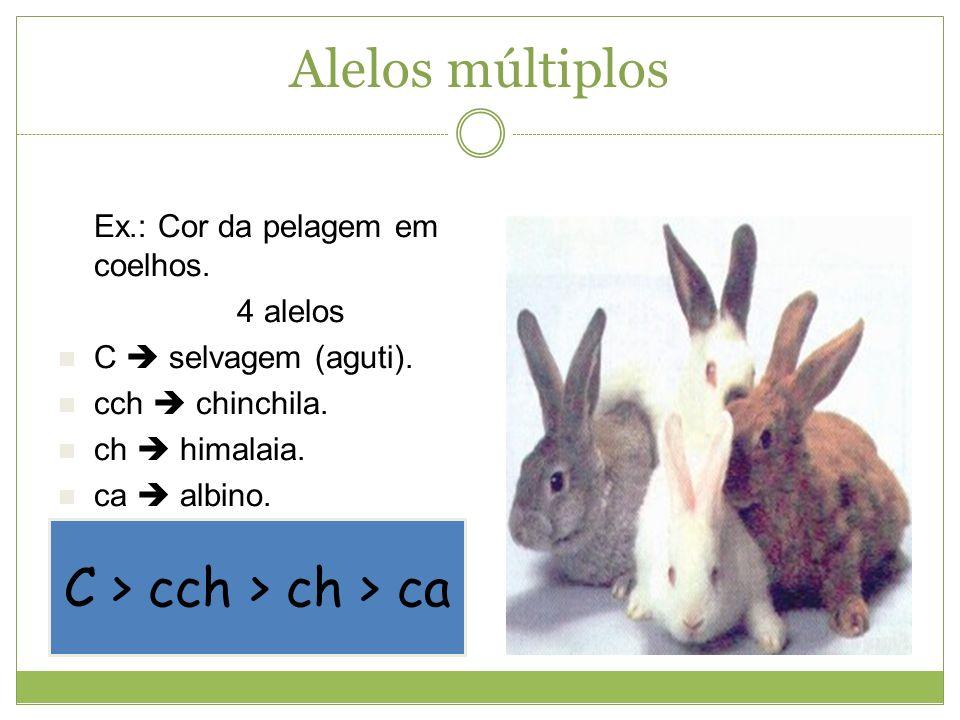 Alelos múltiplos C > cch > ch > ca Ex.: Cor da pelagem em coelhos. 4 alelos C selvagem (aguti). cch chinchila. ch himalaia. ca albino.