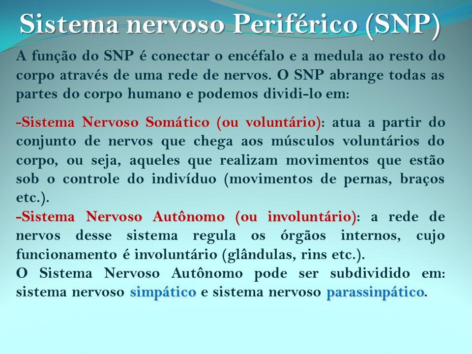 A função do SNP é conectar o encéfalo e a medula ao resto do corpo através de uma rede de nervos. O SNP abrange todas as partes do corpo humano e pode