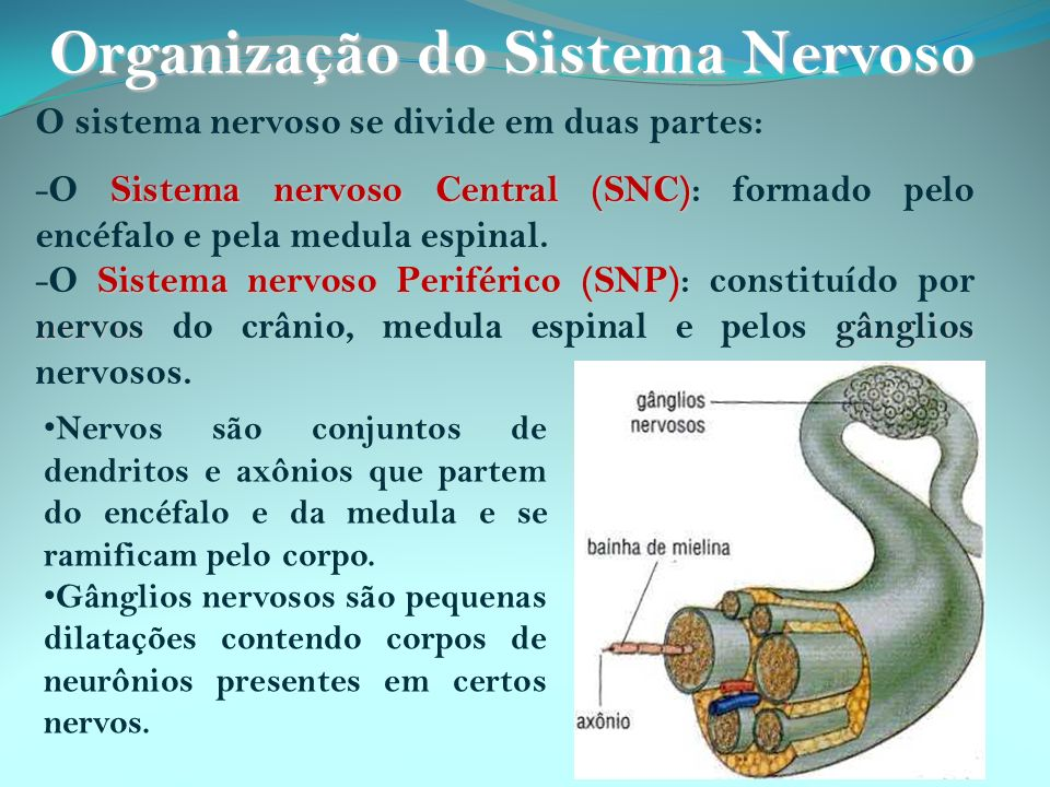 Neurotransmissores estão presentes em vesículas na terminação do axônio.