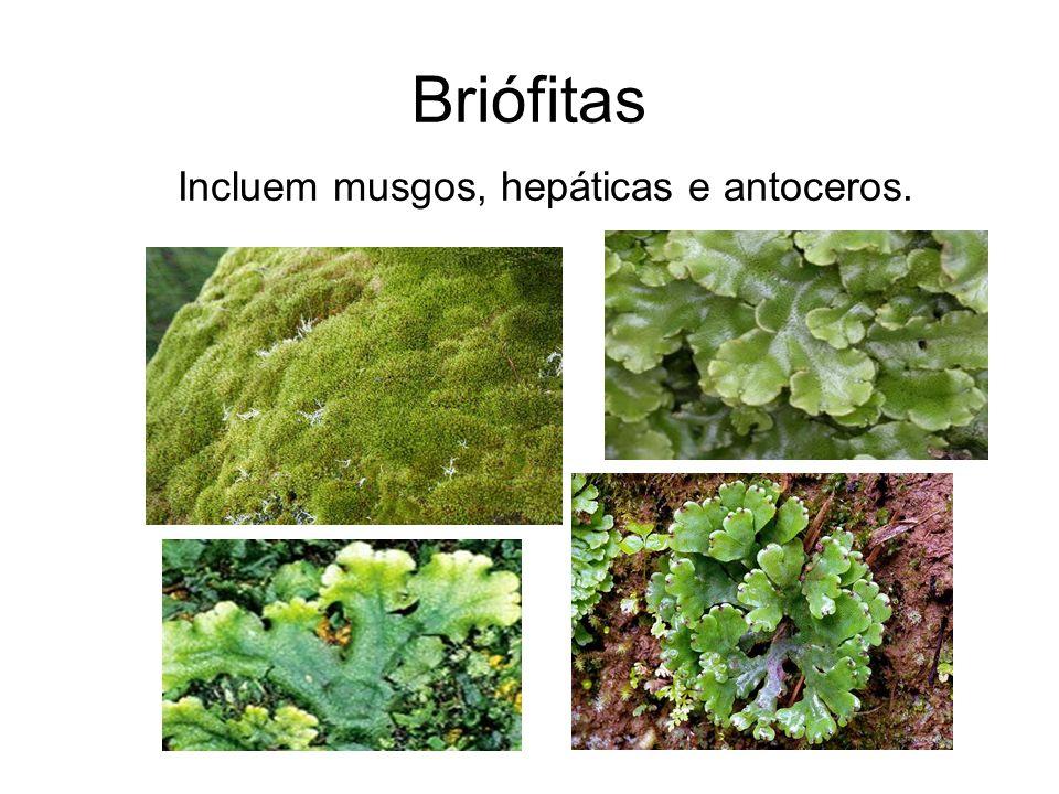 Principais características das briófitas Não possuem vasos condutores, portanto não ultrapassam 5 cm de altura, passam a água de célula a célula.