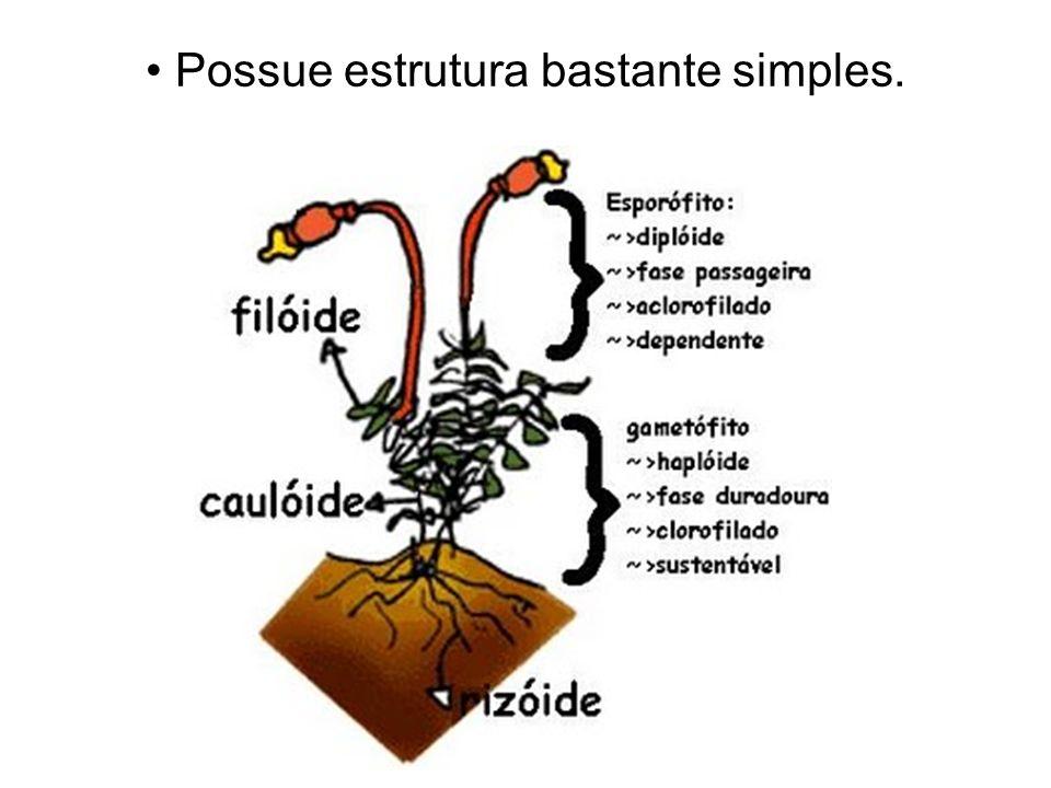 Principais características das angiospermas Possuem vasos condutores.