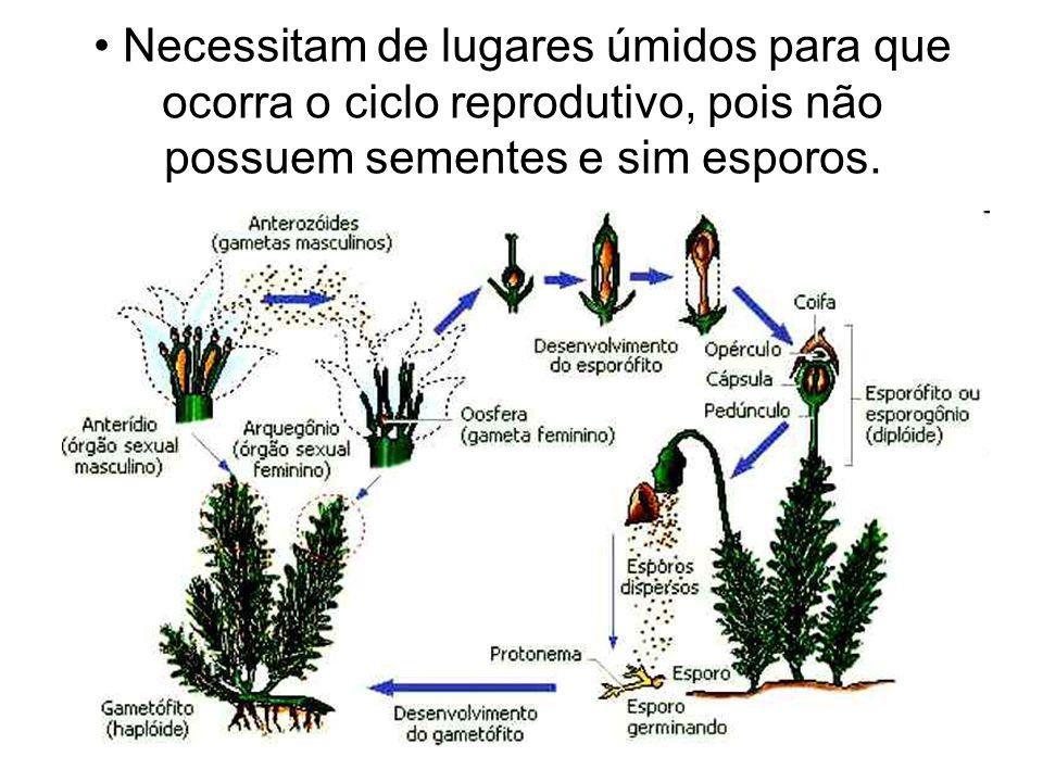 Pteridófitas Incluem samambaias, avencas e a renda- portuguesa.