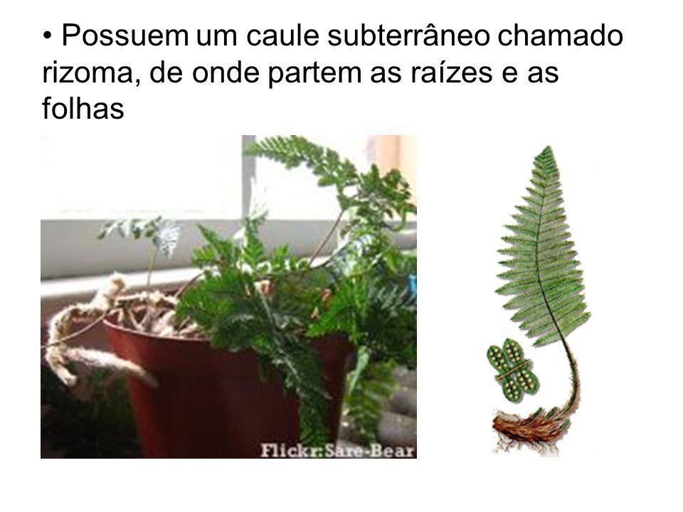 Assim como as briófitas, necessitam de lugares úmidos para que ocorra o ciclo reprodutivo, pois não possuem sementes e sim esporos.