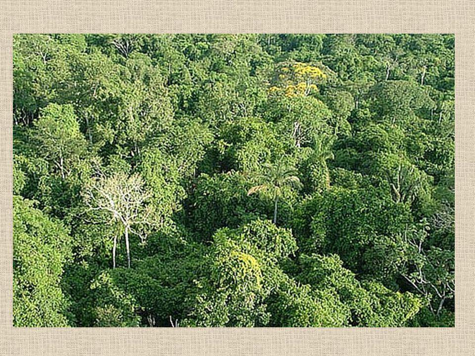 A Caatinga A caatinga é uma formação vegetal que podemos encontrar na região do semi-árido nordestino.