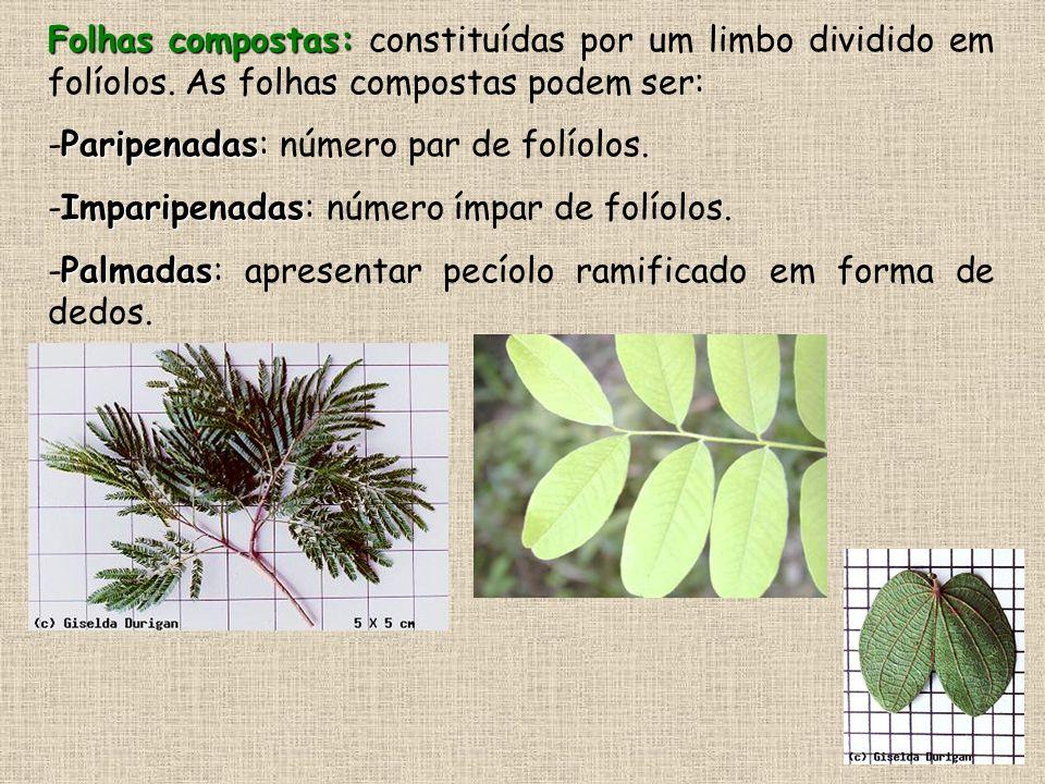 Folhas compostas: Folhas compostas: constituídas por um limbo dividido em folíolos. As folhas compostas podem ser: Paripenadas -Paripenadas: número pa
