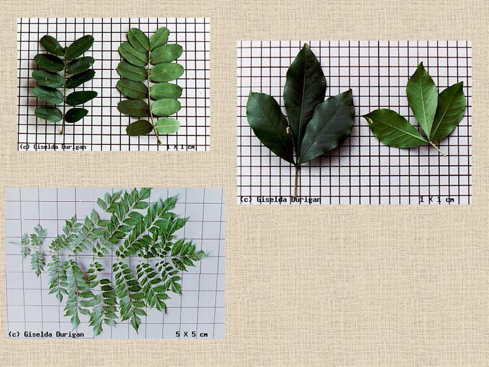. Exemplos de folhas compostas