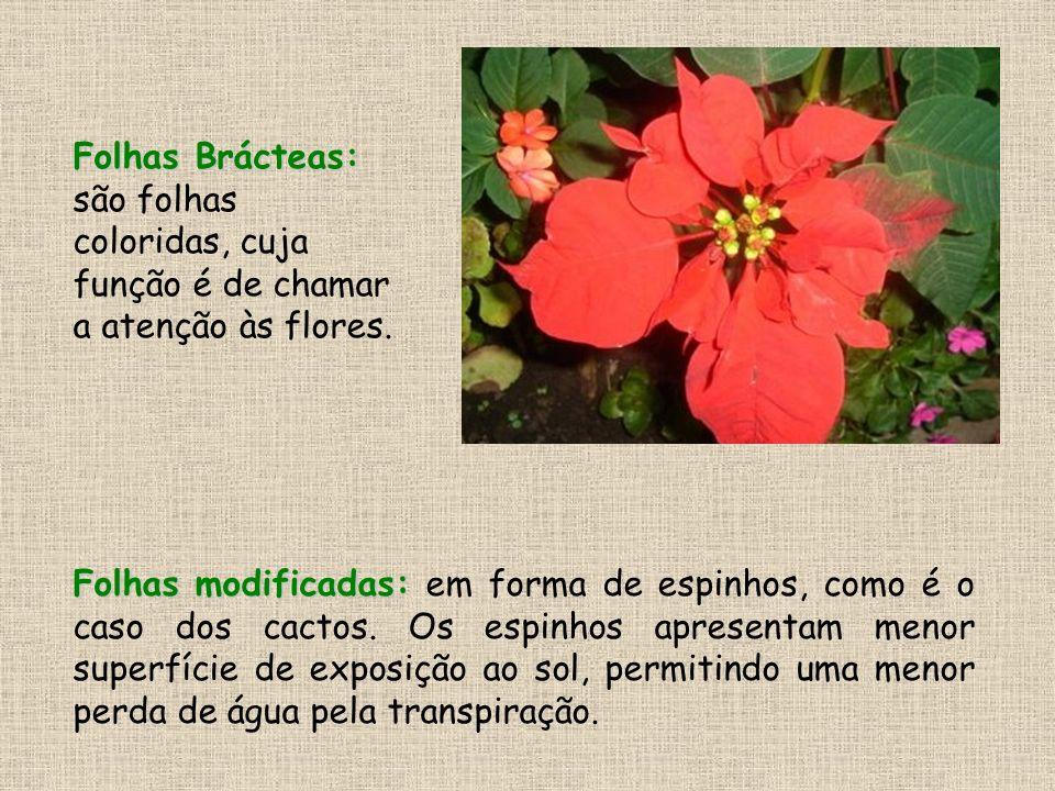 Folhas Brácteas: Folhas Brácteas: são folhas coloridas, cuja função é de chamar a atenção às flores. Folhas modificadas: Folhas modificadas: em forma