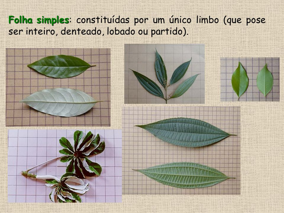 função primordial de sustentação O caule possui função primordial de sustentação dos ramos, folhas,flores, frutos e sementes.