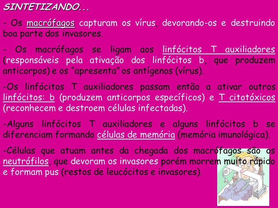 SINTETIZANDO... macrófagos - Os macrófagos capturam os vírus, devorando-os e destruindo boa parte dos invasores. - Os macrófagos se ligam aos linfócit