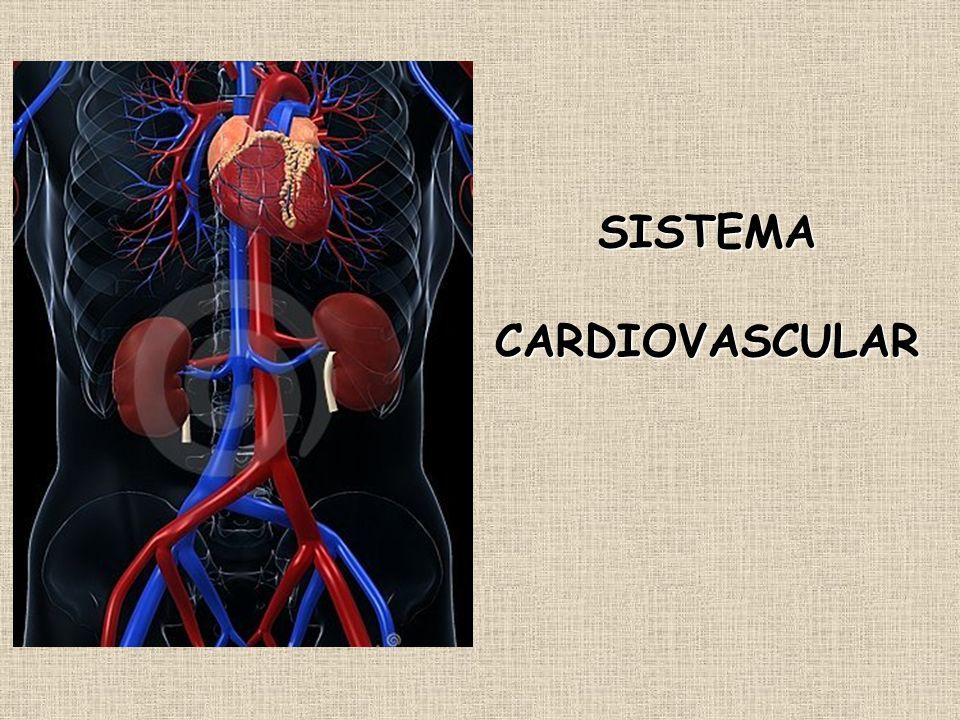 O sistema cardiovascular ou circulatório é uma vasta rede de tubos de vários tipos e calibres, que põe em comunicação todas as partes do corpo.