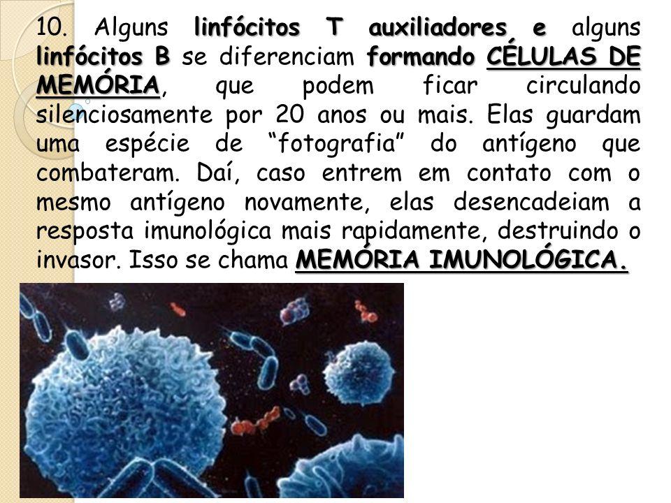 linfócitos T auxiliadores e linfócitos Bformando CÉLULAS DE MEMÓRIA MEMÓRIA IMUNOLÓGICA. 10. Alguns linfócitos T auxiliadores e alguns linfócitos B se