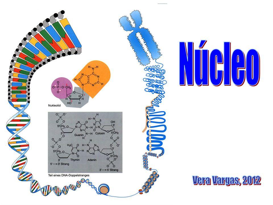 Núcleo Nux (grego) = semente por ser considerado tão importante para a célula quanto a semente é para o fruto Descrito por Robert Brown, em1833 Presente em todas as células eucariontes, possui envoltório nuclear contém o DNA, diâmetro que varia de 11 a 22 m