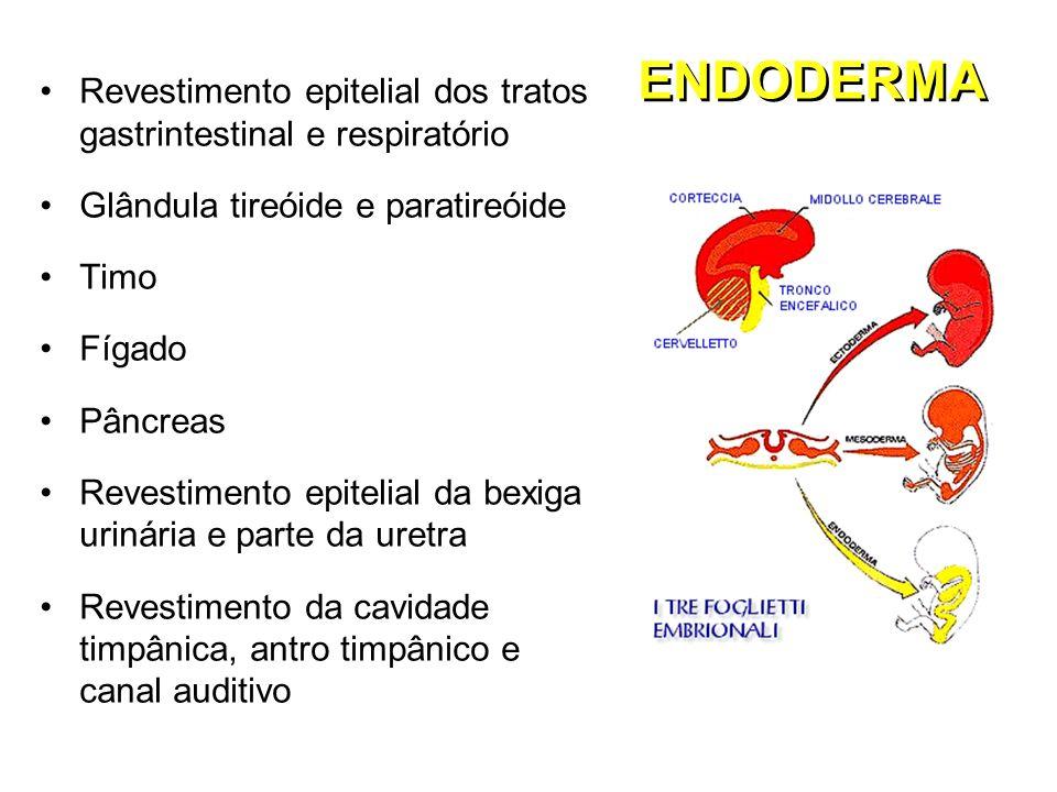 ENDODERMA Revestimento epitelial dos tratos gastrintestinal e respiratório Glândula tireóide e paratireóide Timo Fígado Pâncreas Revestimento epitelia