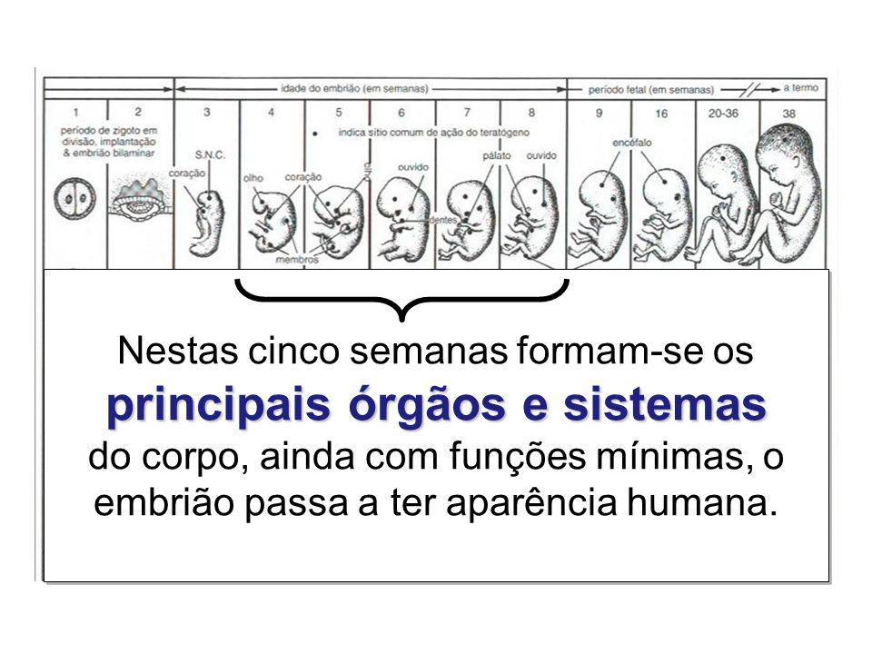 principais órgãos e sistemas Nestas cinco semanas formam-se os principais órgãos e sistemas do corpo, ainda com funções mínimas, o embrião passa a ter